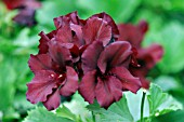 PELARGONIUM MINSTREL BOY (REGAL TYPE)