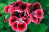 PELARGONIUM RUFFLED VELVET (REGAL TYPE)