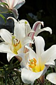 LILIUM REGALE,  REGAL LILY