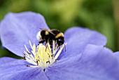 BUMBLE BEE ON CLEMATIS FUJI MUSUME
