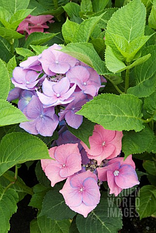 HYDRANGEA_TELLER_PINK___WHEN_ALUMINIUM_SULPHATE_IS_PRESENT_IN_THE_SOIL_THE_PLANT_PRODUCES_BLUE_FLOWE