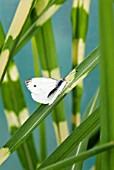 SMALL WHITE BUTTERFLY (ARTOGEIA RAPAE) ON MISCANTHUS SINENSIS STRICTUS