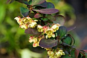 BERBERIS THUNBERGII PINK QUEEN
