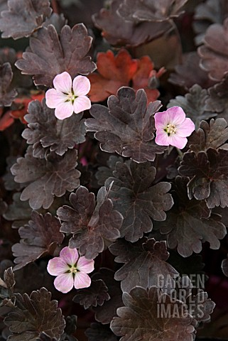 GERANIUM_CHOCOLATE_CANDY