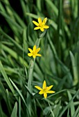 SISYRINCHIUM CALIFORNICUM BRACHYPUS
