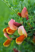 CYTISUS KILLINEY SALMON (BROOM)