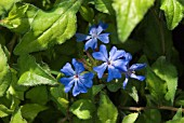 CERATOSTIGMA WILLMOTTIANUM FOREST BLUE