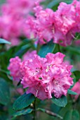 RHODODENDRON KARIN