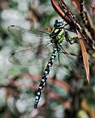 AESHNA CYANEA,  DRAGON FLY HANGING FROM CRINODENDRON HOOKERIANUM