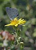 CELASTRINA ARGIOLUS BUTTERFLY ON SENECIO LAXIFOLIUS,  HOLLY BLUE BUTTERFLY