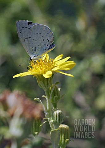 CELASTRINA_ARGIOLUS_BUTTERFLY_ON_SENECIO_LAXIFOLIUS__HOLLY_BLUE_BUTTERFLY