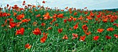 PAPAVER RHOEAS IN FIELD,  COMMON POPPIES