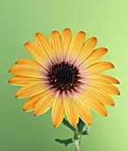 SINGLE DIMORPHOTHECA SET AGAINST PALE GREEN BACKGROUND,  CAPE MARIGOLD,  AFRICAN DAISY