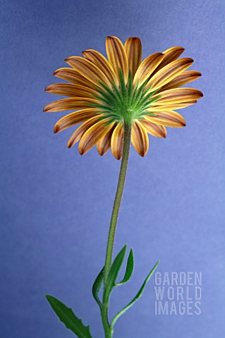 REAR_VIEW_OF_SINGLE_DIMORPHOTHECA__CAPE_MARIGOLD__AFRICAN_DAISY