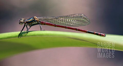 PYRRHOSOMA_NYMPHULA__LARGE_RED_DAMSELFLY