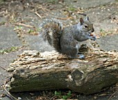 GREY SQUIRREL,  EATING NUTS