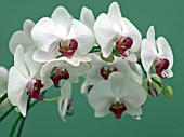PHALAENOPSIS MY WAY; MOTH ORCHID