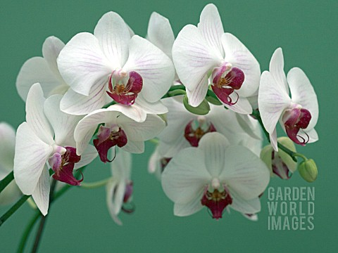 PHALAENOPSIS_MY_WAY_MOTH_ORCHID_