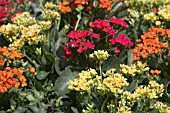 MIXED KALANCHOE