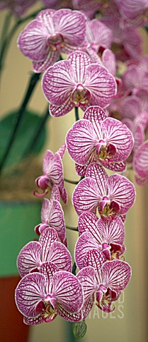 PHALAENOPSIS_MULTIFLORA_STRIPED_MOTH_ORCHID