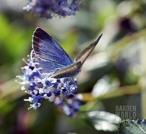 CELASTRINA_ARGIOLUS_BUTTERFLY_ON_CEANOTHUS__HOLLY_BLUE_BUTTERFLY