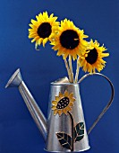 HELIANTHUS; TRIO OF MINIATURE SUNFLOWERS ARRANGED IN SUNFLOWER DECORATED WATERING CAN SET AGAINST A BLUE BACKGROUND