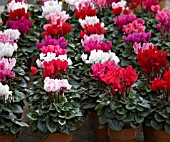 DISPLAY OF CYCLAMEN SUPER SERIES ORIGINAL