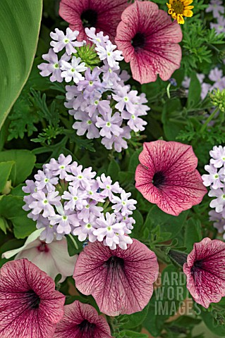 CONTAINER_DISPLAY_OF_PETUNIAS_AND_VERBENA