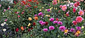 MIXED DAHLIA BORDERS