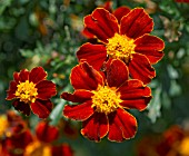 TAGETES PATULA DISCO RED; FRENCH MARIGOLD
