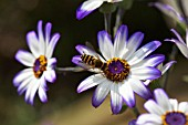 SYRPHUS RIBESII ON SENETTI BLUE BICOLOUR; WASP-LIKE HOVER-FLY