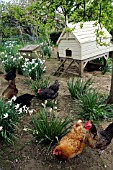 CHICKENS IN THE GARDEN OF THE OLD RECTORY