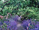 THE NEPETA WALK IN THE GARDEN AT CAMBO HOUSE. BENEATH THE TWISTED BRANCHES OF OLD APPLE TREES ARE SCENTED ROSES, INCLUDING F. J. GROOTENDORST, BUFF BEAUTY AND ERFURT.