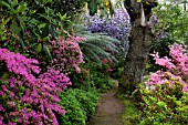 A PATHWAY THROUGH FIRST WOOD AT GREENCOMBE IS FRINGED BY AZALEAS AND RHODODENDRONS