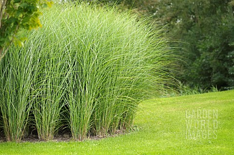 Miscanthus sinensis gracillimus pictures for Ornamental grass in containers for privacy