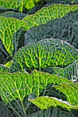 BRASSICA OLERACEA STANTON F1  (A cross between Danish and Savoy cabbage)