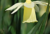 NARCISSUS JOHNSTONII QUEEN OF SPAIN