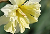 NARCISSUS VALDROME
