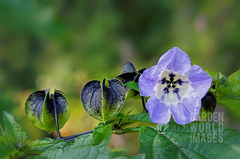 NICANDRA_PHYSALODES