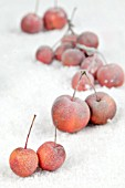 FROSTED RED APPLES