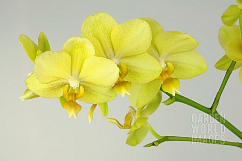 PHALAENOPSIS_ANTHURA_GOLD