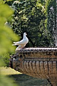 WHITE DOVE AT FOUNTAIN