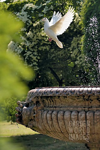 WHITE_DOVE_AT_FOUNTAIN