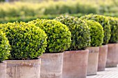 BUXUS SEMPERVIRENS (CLIPPED BOX)
