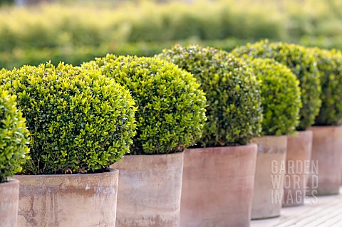 BUXUS_SEMPERVIRENS_CLIPPED_BOX