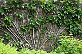 ESPALIER FIG TREE ON A GARDEN WALL