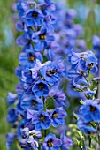 DELPHINIUM BLUE DAWN