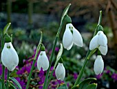 GALANTHUS GRUMPY SNOWDROPS IN GROUP GROWING WITH PRIMULAS IN BACKGROUND.