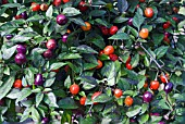 CAPSICUM ANNUUM, CHILLI PEPPER FILIUS BLUE FRUIT AND FOLIAGE