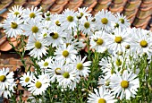 LEUCANTHEMELLA SEROTINA, JUMPERS OR AUTUMN OX-EYE DAISY